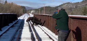 Moose Rescued from Black River Railroad Bridge near Ludlow Mines